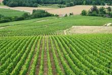 Vignes à coté du Moulin de Saint Georges, gite de charme en Bourgogne